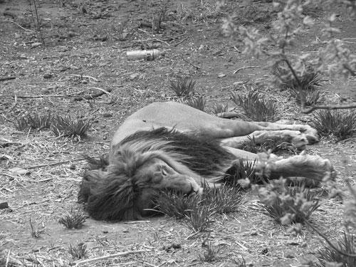 Utslaget lejon på Peking zoo