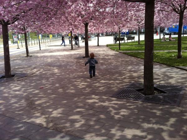 Hugo och körsbärsträden i Hammarby Sjöstad