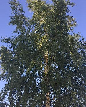 Umeå - björkarnas stad