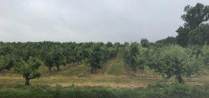 Äppelträd i Kivik