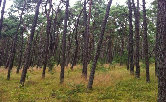 Skog i Nida, Litauen