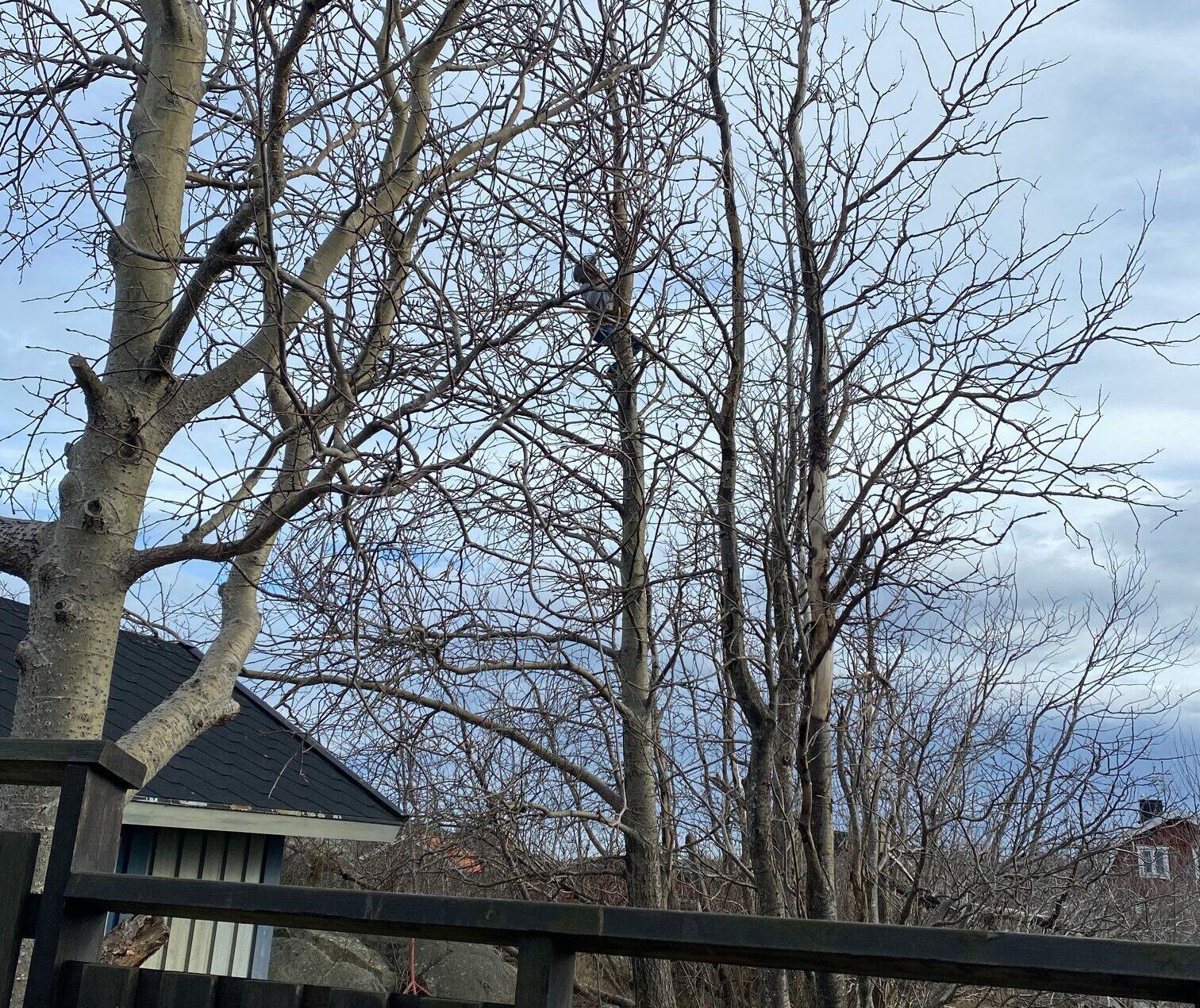 Hugo klättrar i träd på Landsort påsken 2021